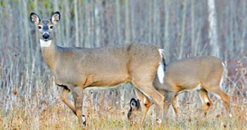 deer-browsing