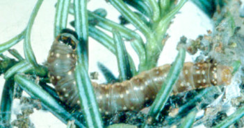 SBW-larva