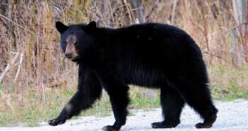 Bear-shuffle2-expos