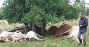 Dead-cows