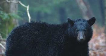 bearhunt