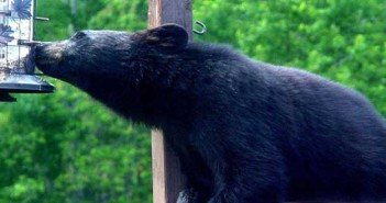 Put away bird feeders in the spring. Seed, suet and nectar attract bears.