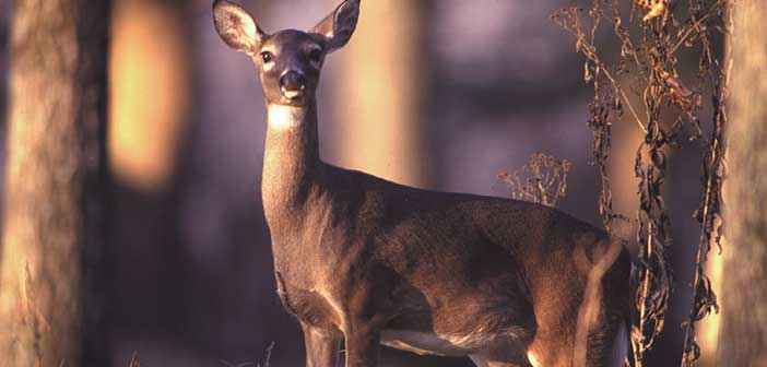 Noelville man fined for leaving harvested deer to spoil on Island - Manitoulin Expositor