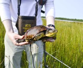Field study of Misery Bay turtle die-off expands to cover wintertime