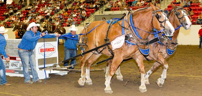 Island teamster and his team dominate at Calgary Stampede