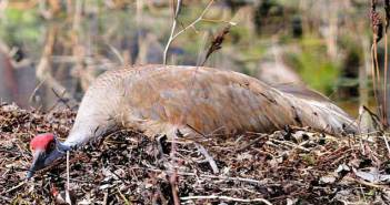 OFA agrees with Manitoulin group to lobby for managed hunt of sandhill cranes