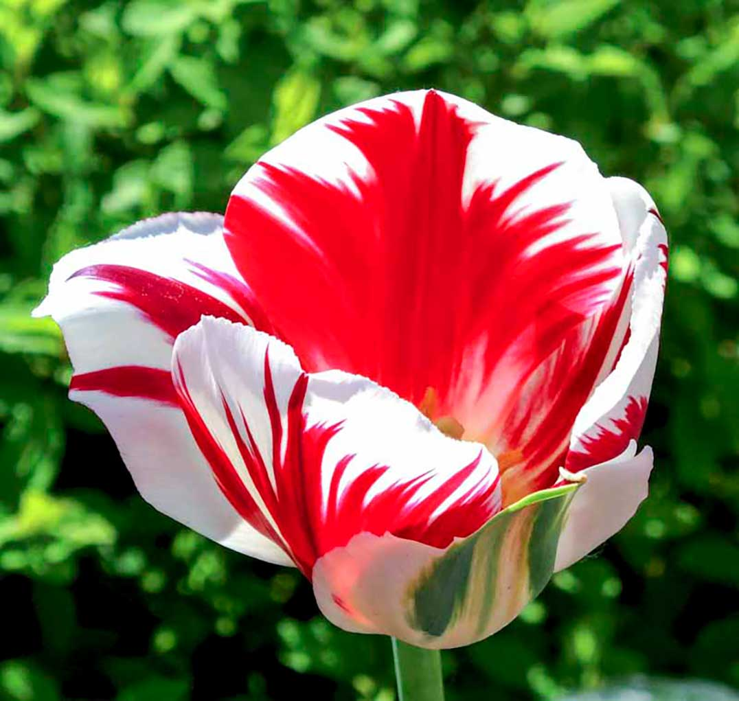 Canada 150 tulips blossom in manitoulin island gardens company in the netherlands the national capital commission in ottawa and communities in bloom a canadian charity to bring the bulbs to canada biocorpaavc Choice Image