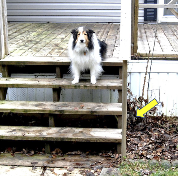 Tara, the Shorthouse sheltie, sitting on the deck within three feet of the nesting (arrow) ruffed grouse.
