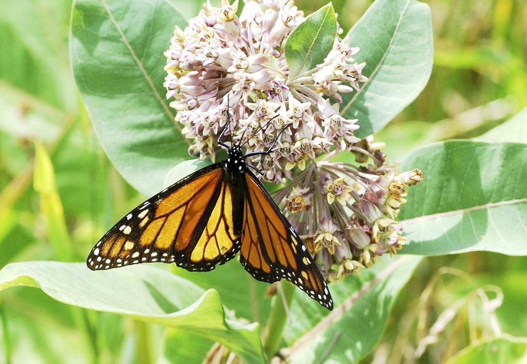 Island monarchs make encouraging comeback biocorpaavc Gallery