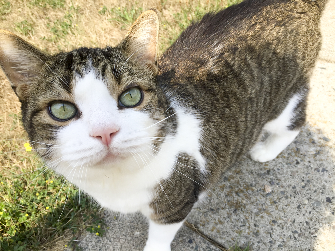 Sheguiandah cat Rudy, who was diagnosed with blastomycosis two weeks ago, could become Manitoulin's first feline survivor. He appears bright for the camera on Monday of this week.