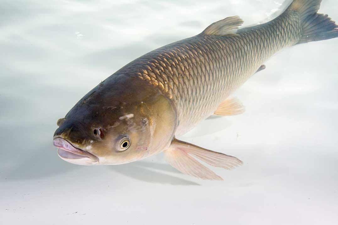 Asian carp case study data