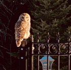 prov-owls-7-barred-owl-past-fall-at-royal-michaels-bay